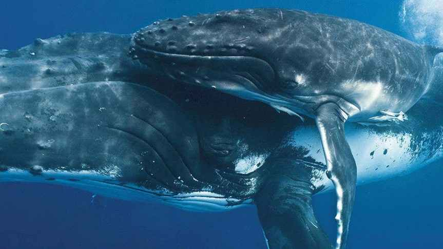 Monthly Muse – HumpbackWhale