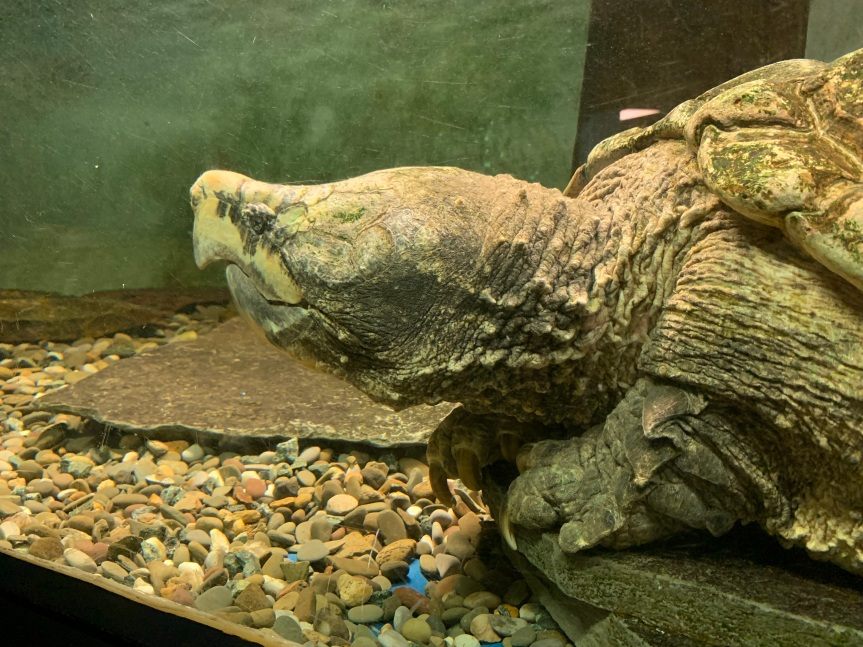 Friday Find – Alligator SnappingTurtle